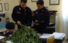 carabinieri Foto piante sequestrate