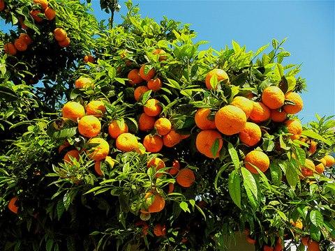 Istituita la sagra dell'arancia DOP di Ribera