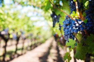 L'uva e il vino di Canicattì ancora sulla stampa (non solo nazionale)