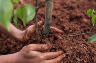 Canicattì: Piantumazione 20 alberi dono Rotary Club Canicattì.