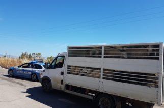 Trasporto di ovini senza adeguata documentazione, sanzionato.